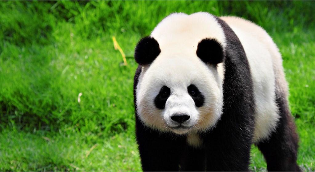Aniversário Panda – O Ursinho Vai Encantar A Festa