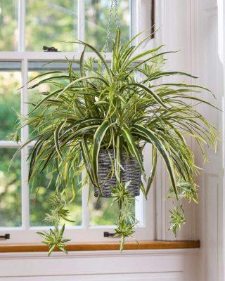 clorofito-plantas para dentro de casa